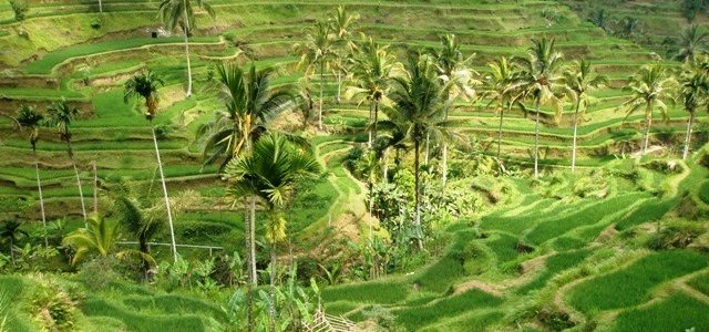 Tegalalang Rice Field Terraces img